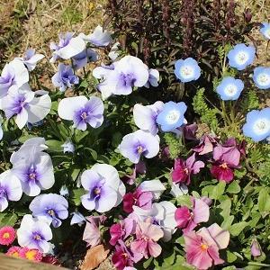 梅小路公園お花見。