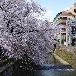 天神川桜並木①