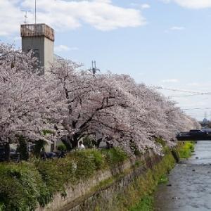 天神川桜並木②
