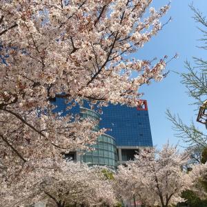 扇町公園の桜、今年もありがとう!