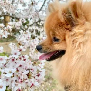 同じ桜の木