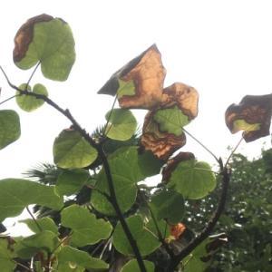 葉が落ちてしまうマルバの木に