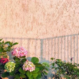 バルコニーの紫陽花