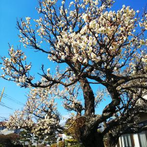 梅が咲いています♪