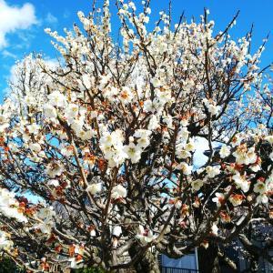 まだ梅が咲いています。(*´ω`*)