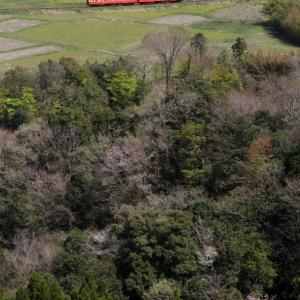 桜と菜の花は終わり近く新緑の季節が始まった - 2020年桜・小湊鉄道 -