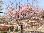 眺 2019桜の京都編10 渉成園