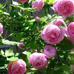 バラが咲いたよ / Climbing Roses in my Garden