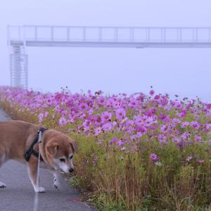 朝霧の、コスモス。/ ツーショット。