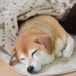 コタツ犬、おはぎときなこもち。