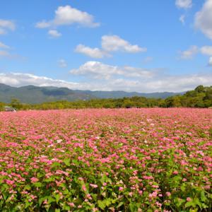 吉野ヶ里、赤いソバの花畑。