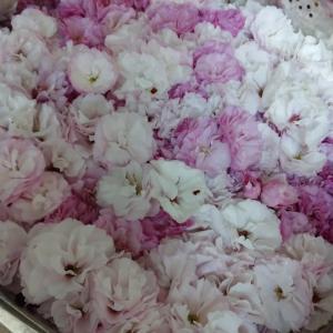 トトの桜仕事