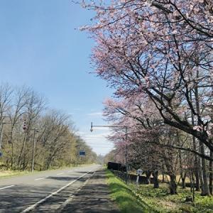 釧路で日本一遅い桜の開花宣言