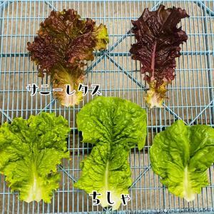 10/20 野菜収穫&出荷