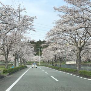 4月もお休みと霊芝ジンジャーと桜