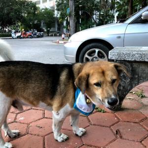 チェンマイ大学名物犬ティア。