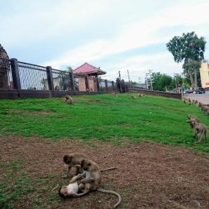 タイ・ロッブリーの猿たち喧嘩のニュース。コロナウイルスを原因として語るメディアの論調に、大きな疑問と怖さを感じる。