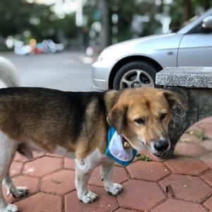 チェンマイ大学 傷心。大学のアイドル犬ティアの突然の不幸。