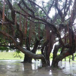 台湾の保護樹木