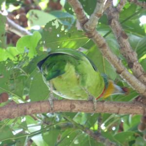タイワンゴシキドリ/臺灣擬啄木/Taiwan barbet
