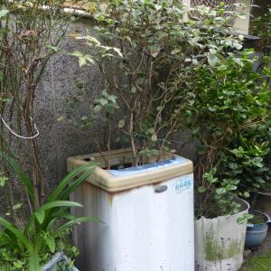 洗濯機で育てるギンモクセイ/Osmanthus in washing machine