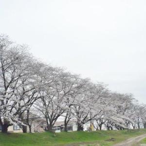 宮の桜並木