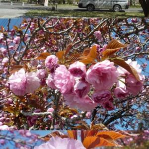 天平の丘公園の八重桜
