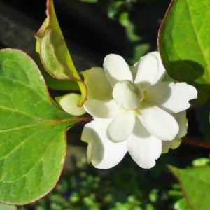 八重咲きどくだみの花