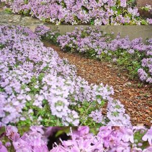 芝桜の様な小花が増えました∩・∀・∩