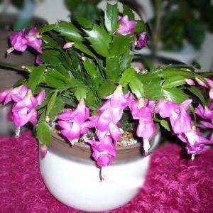 シャコバサボテンの花が咲きました∩・∀・∩