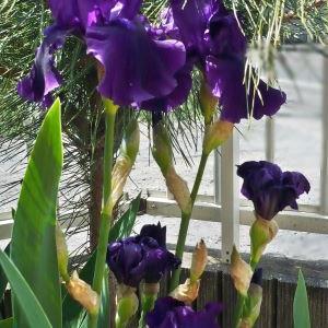 紫のジャーマンアイリス
