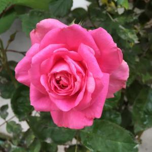 花壇のバラが咲き始めました!