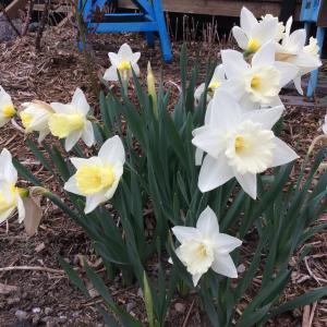 日陰の庭でも、水仙を咲かせるぞ!