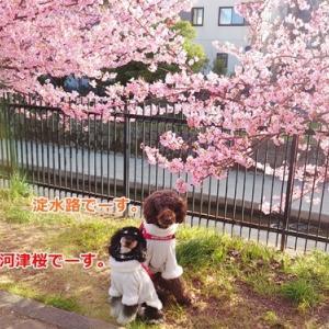 今年も淀水路の河津桜
