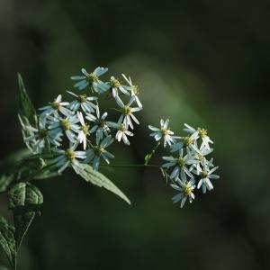 奥日光のシロヨメナ