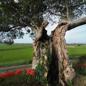 エノキの古木