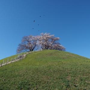 さきたま古墳 満開の桜