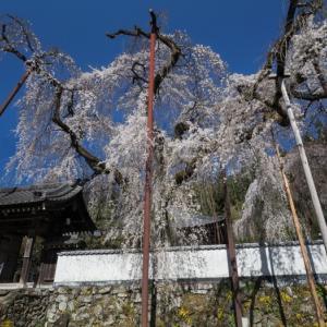 清雲寺の桜、そしてしばらく更新お休みします