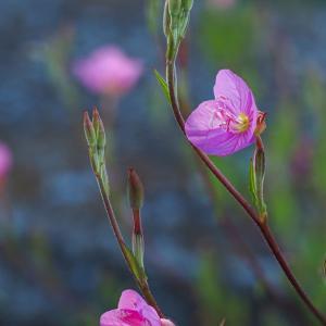 雑草を撮る10 アカバナユウゲショウ