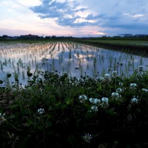 雑草を撮る19 シロツメクサ