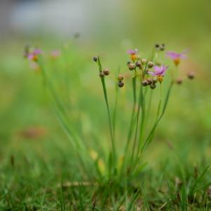雑草を撮る20 ニワゼキショウの季節