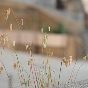 雑草を撮る25 コバンソウとヒメコバンソウ