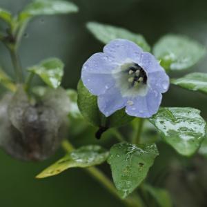 しぶとく咲くクロホウズキ