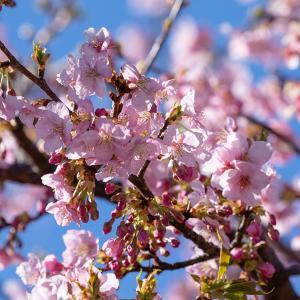 そろそろかな今年の桜