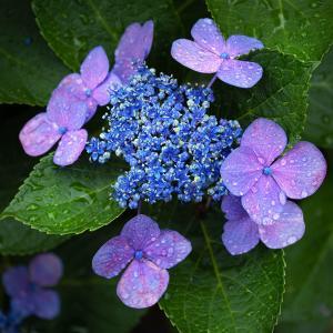 雑草園の花 アジサイ