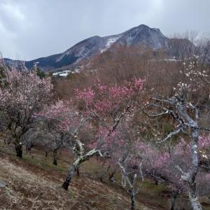 箱根の梅林