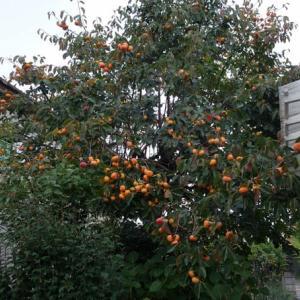 柿の季節となった