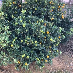 キッチンスタジオの金柑の木、大きな実をつける♪