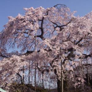  櫻 sakura 