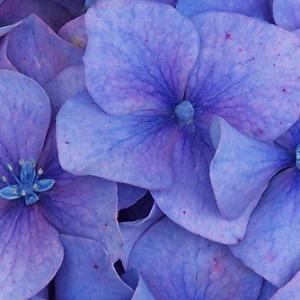 新色追加しました。3色揃った紫陽花の帯留め